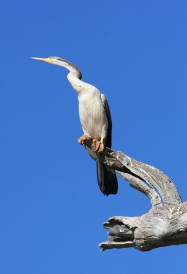 White-necked heron (Ardea cocoi) perched on tree, Australia
