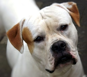 american-bulldog-179677_640