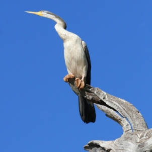 White-necked heron (Ardea cocoi) perched on tree, Australia